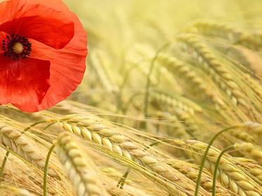 Quotazione Grano Duro e altre merci: la Borsa Agraria